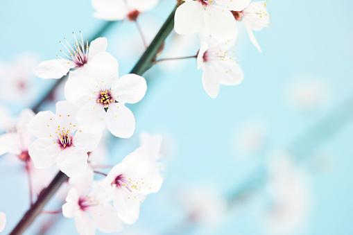 梅の花「桜の」:スマホ壁紙(16)