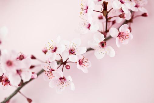 梅の花「桜の」:スマホ壁紙(3)
