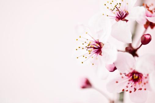 花「桜の」:スマホ壁紙(7)
