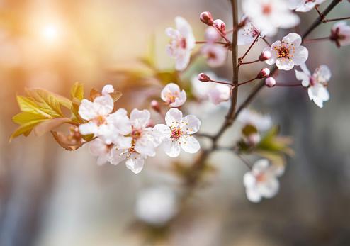 梅の花「桜の」:スマホ壁紙(5)