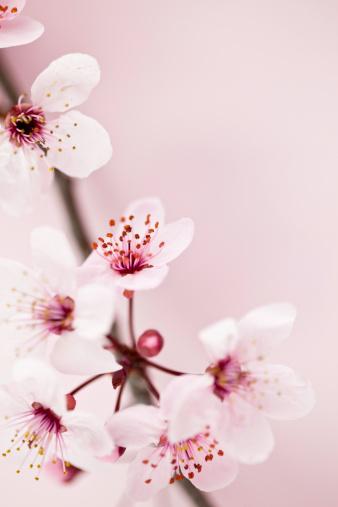 梅の花「桜の」:スマホ壁紙(6)