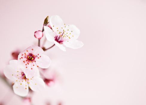 Cherry Blossoms「Sakura Cherry Blossom」:スマホ壁紙(3)