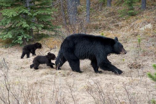 Bear Cub「Two Black Bear Cubs Following Their Mother In Jasper National Park」:スマホ壁紙(4)
