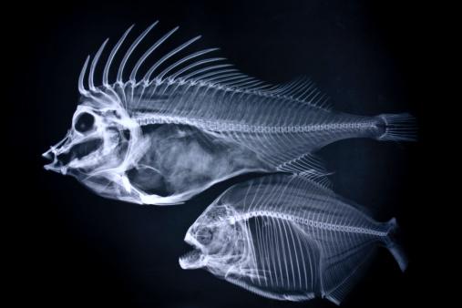 Animal Skeleton「Fishes x-ray」:スマホ壁紙(18)