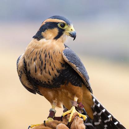 Hawk - Bird「Peregrine falcon」:スマホ壁紙(10)