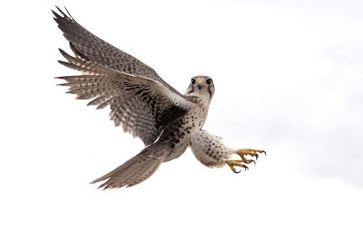 Bird of Prey「Peregrine Falcon」:スマホ壁紙(8)
