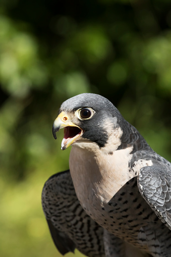 Hawk - Bird「Peregrine falcon (Falco peregrinus), fastest bird of prey in a dive, adult captive」:スマホ壁紙(16)