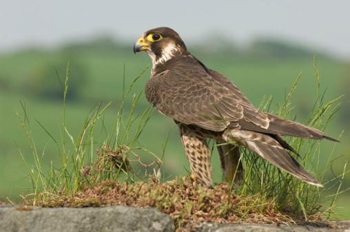 Hawk - Bird「Peregrine Falcon (Falco peregrinus) on ground, UK」:スマホ壁紙(5)