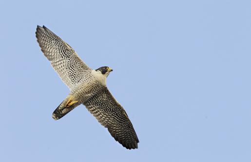 Hawk - Bird「Peregrine falcon in flight」:スマホ壁紙(8)