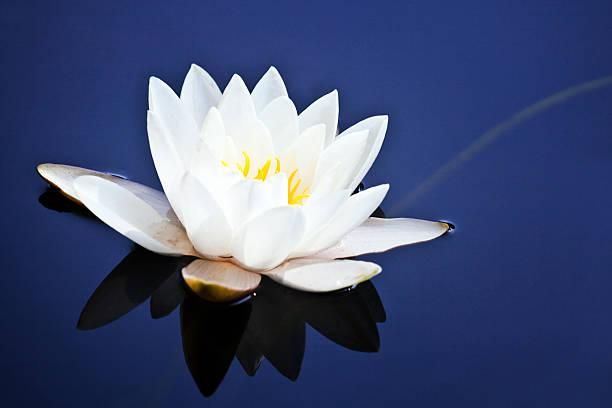 White water lily on blue:スマホ壁紙(壁紙.com)