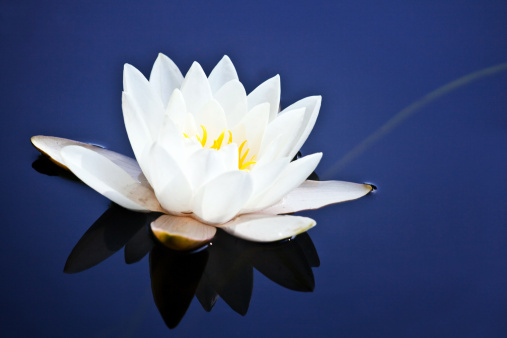 Water Lily「White water lily on blue」:スマホ壁紙(13)