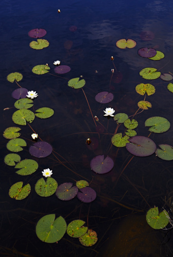 White Water Lily「White water lilies」:スマホ壁紙(6)