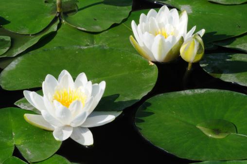 Water Lily「White Water-Lilies」:スマホ壁紙(1)