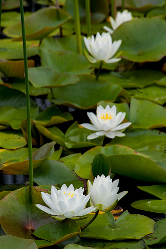 Water Lily「White water-lily (Nymphaea alba) flowering in pond, Pictured Rock National Lakeshore, Michigan, USA」:スマホ壁紙(15)