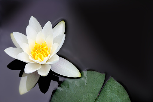 Water Lily「White water lily Nymphaea alba floating in a pond」:スマホ壁紙(3)