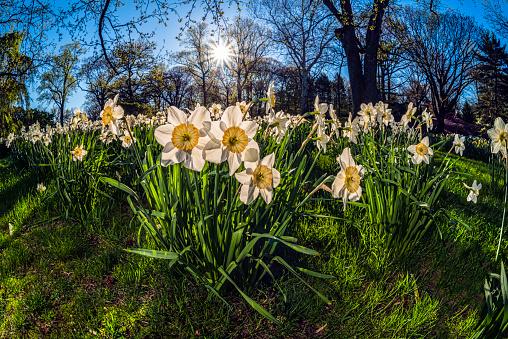 ナルキッソス「Sun Rising Behind Large-Cup Daffodils (Narcissus), manon Lescaut Amaryllidaceae, New York Botanical Garden」:スマホ壁紙(3)