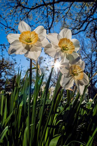 ナルキッソス「Sun Rising Behind Large-Cup Daffodils (Narcissus), manon Lescaut Amaryllidaceae, New York Botanical Garden」:スマホ壁紙(4)
