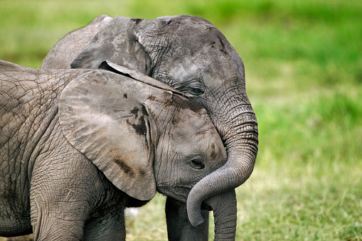 Baby animal「Two African Elephant Calves Playing Together」:スマホ壁紙(1)