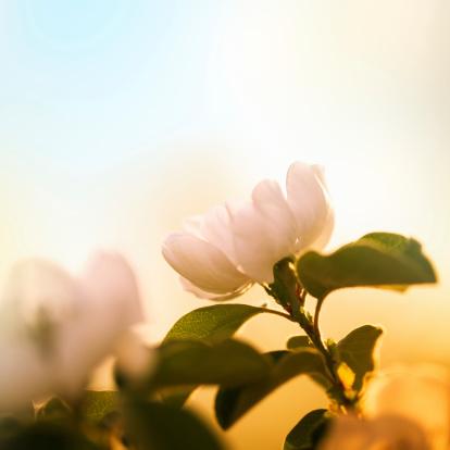 カリン「フルーツの花の春」:スマホ壁紙(3)
