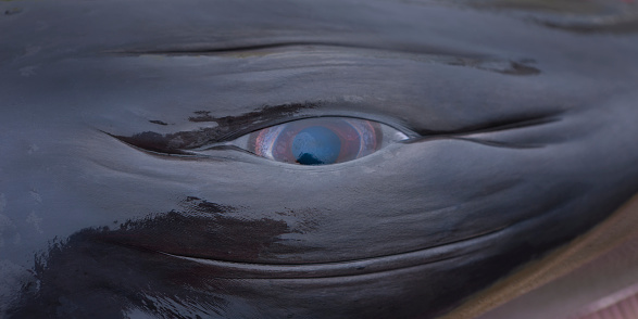 Animal Eye「Eye of a dead minke whale hunted in the North Atlantic near Iceland」:スマホ壁紙(16)