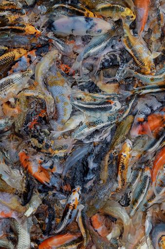 Carp「Swirling pattern of Koi Carp during feeding, Oxfordshire, England, United Kingdom」:スマホ壁紙(16)