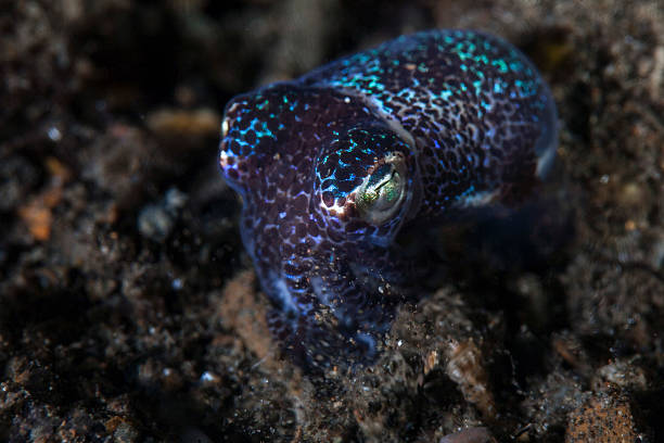 A small bobtail squid crawls out of the sand.:スマホ壁紙(壁紙.com)