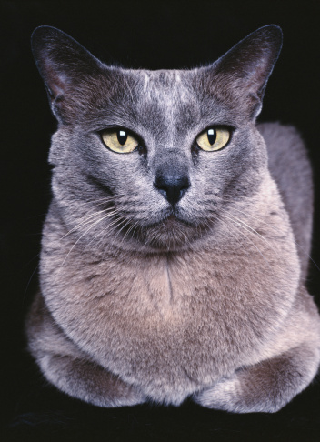 ビルマネコ「Blue Burmese cat, close-up」:スマホ壁紙(9)