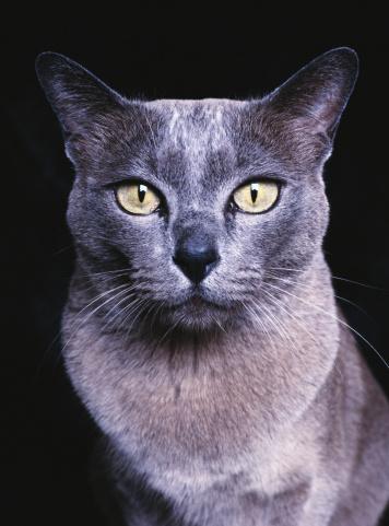 ビルマネコ「Blue Burmese cat, close-up」:スマホ壁紙(4)