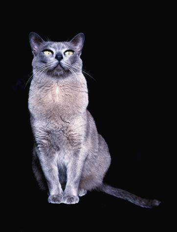 ビルマネコ「Blue Burmese cat, close-up」:スマホ壁紙(5)