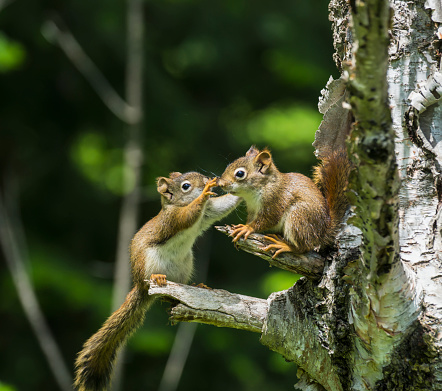 リス「Two baby red squirrels (Sciurus Vulgaris) playing in a tree」:スマホ壁紙(4)