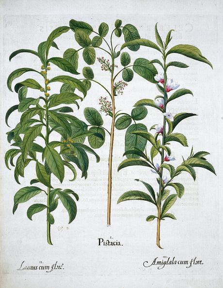 Basil「Pistachio Nut Bay Tree (Laurus Nobilis) And Almond 1613」:写真・画像(6)[壁紙.com]