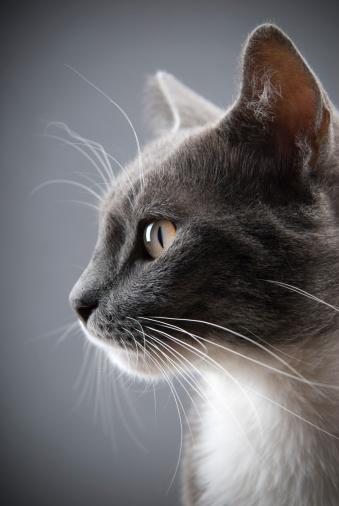 Animal Head「Young gray cat」:スマホ壁紙(5)