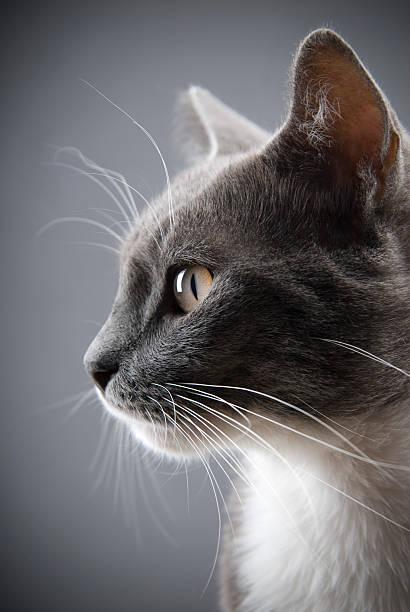 Young gray cat:スマホ壁紙(壁紙.com)