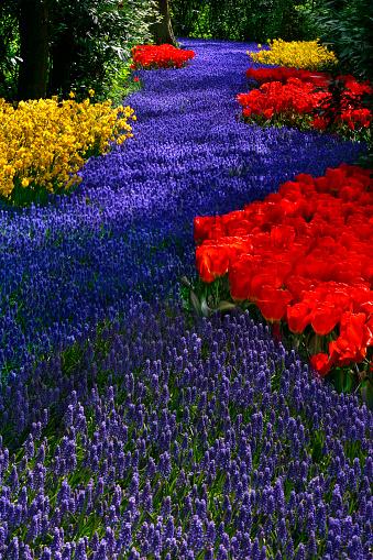 Keukenhof Gardens「River of Hyacinth」:スマホ壁紙(8)