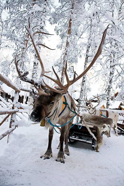 Reindeer:スマホ壁紙(壁紙.com)