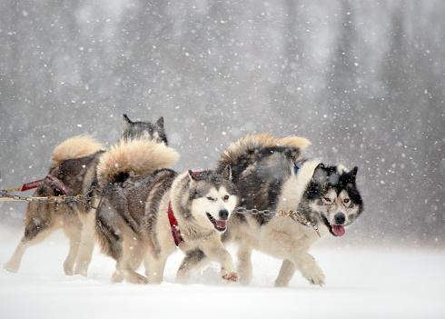 Dogsledding「Dogsledding in Winter Storm」:スマホ壁紙(16)