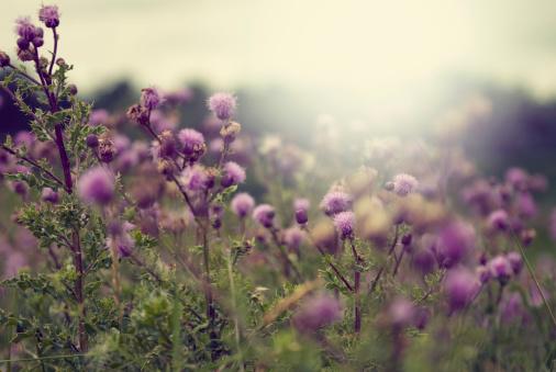 Wildflower「Milk thistle」:スマホ壁紙(1)