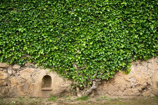 Ivy「Ivy on a wall of Villa Cimbrone, Ravello」:スマホ壁紙(13)