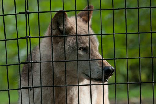 狼「Wolf standing behind caged enclosure.」:スマホ壁紙(11)