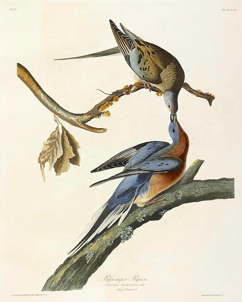 Lithograph「Passenger Pigeon」:写真・画像(3)[壁紙.com]