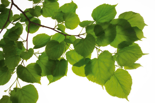 枝「Lime tree leaves, (Tilia), close-up」:スマホ壁紙(17)