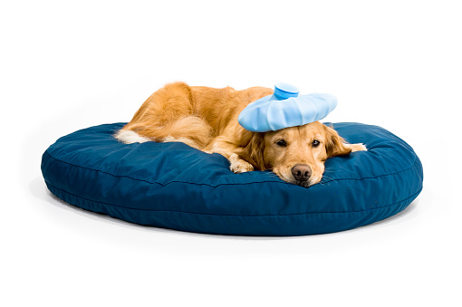Females「Sick Golden Retriever on dog bed」:スマホ壁紙(16)