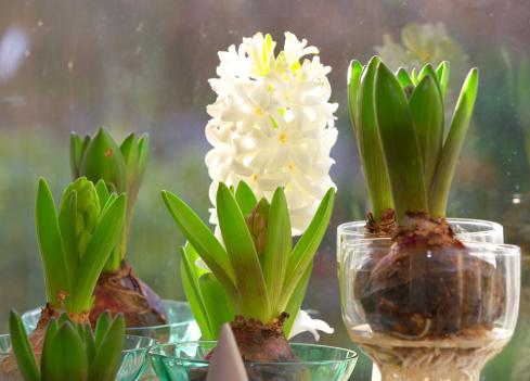 Hyacinth「WIndow plants」:スマホ壁紙(15)