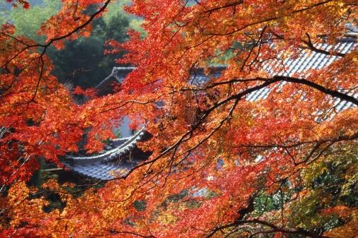 Japanese Maple「Konzo-ji Temple, Kyoto Prefecture, Japan」:スマホ壁紙(0)