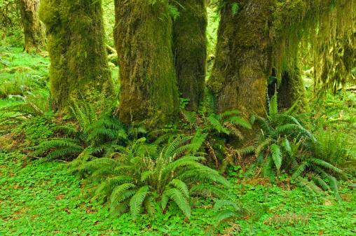 Hoh River Valley「Rainforest, Hon River Vally, Olympic National Park, Washington, USA」:スマホ壁紙(1)