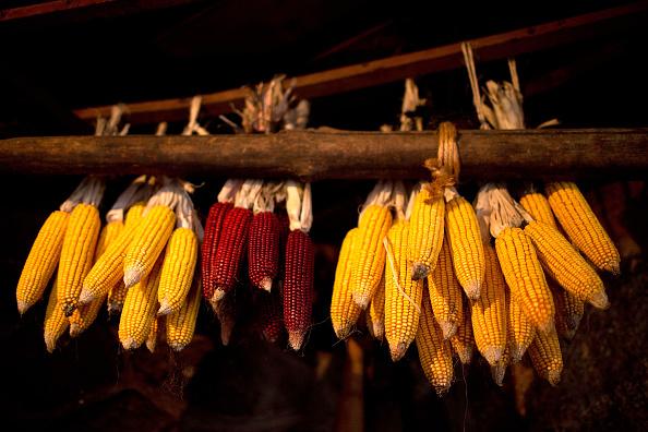 Corn「Los Escobazos Festival In Jarandilla De La Vera」:写真・画像(8)[壁紙.com]