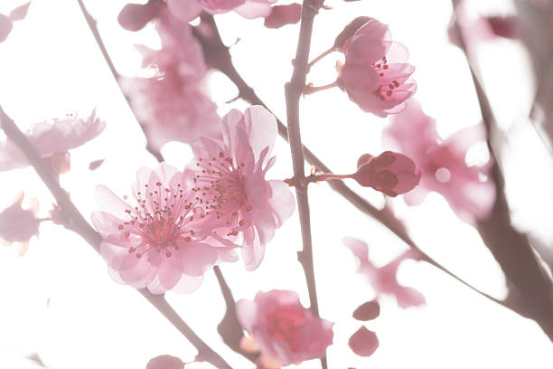 The plum blossom:スマホ壁紙(壁紙.com)