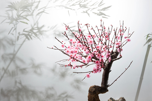 梅の花「The plum blossom」:スマホ壁紙(8)