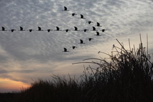 Flock Of Birds「Birds in Arrow Pattern」:スマホ壁紙(13)