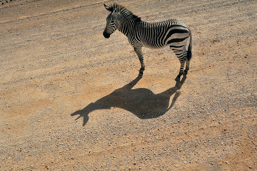 Animal「Namibia, Solitaire, plains zebra standing on lane in the sunlight」:スマホ壁紙(5)